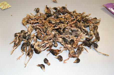 Interceptaron maleta llena  de pájaros muertos de China